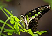 Saija  Lehtonen - Green Jay Butterfly