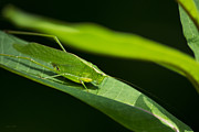 Cricket Posters - Green Katydid On Milkweed Leaf Poster by Christina Rollo