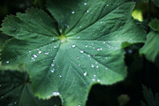 David Schoenheit - Green Leaf After a Rainy...