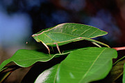 Mimic Posters - Green Leaf-mimic Katydid Steirodon Poster by Gerry Ellis