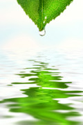 Green Leaf Over Water Reflection Print by Sandra Cunningham