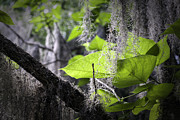 Lynn Palmer - Green Leaves and Spanish Moss