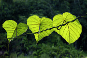 William Voon Metal Prints - Green Leaves Metal Print by William Voon
