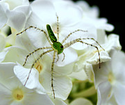 Leslie Kirk - Green Lynx Spider