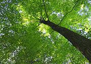 Barbara McMahon - Green Maple Canopy