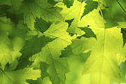 Sun Photo Posters - Green maple leaves Poster by Elena Elisseeva