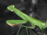 Mantis Framed Prints - Green Matis Framed Print by Shane Bechler