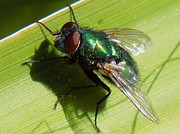 Donna Jackson - Green Metallic Fly