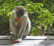 Daydream Prints - Green Monkey Eating an apple Print by Jennifer Lamanca Kaufman