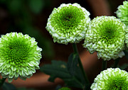 Disk Flowers Prints - Green Mum Flowers Print by Johnson Moya