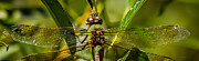 Dragonfly Glass Art - Green On Green by Mitch Shindelbower