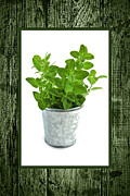 Frame Posters - Green oregano herb in small pot Poster by Elena Elisseeva