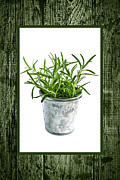 Pail Prints - Green rosemary herb in small pot Print by Elena Elisseeva