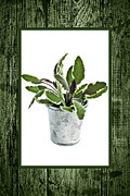 Pail Prints - Green sage herb in small pot Print by Elena Elisseeva