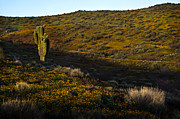 Phoenix Flowers Photos - Green Saguaro Hills 1 by Dave Dilli