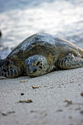 Green Sea Turtle Photos - Green Sea Turtle 1 by Darci T
