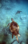 Green Sea Turtle Photos - Green sea turtle and sea lion underwater by Paul Kennedy