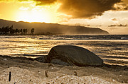 Green Sea Turtle Photos - Green Sea Turtle at Sunset V2 by Douglas Barnard