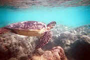 Green Sea Turtle Photos - Green Sea Turtle by Christine Stack