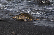 Green Sea Turtle Photos - Green Sea Turtle by John Kees
