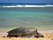 Aqua Prints - Green Sea Turtle - Kauai Print by Shane Kelly