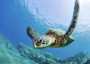 Marine Green Posters - Green Sea Turtle - Maui Poster by M Swiet Productions