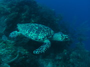 Green Sea Turtle Photos - Green Sea Turtle by Michelle Heard