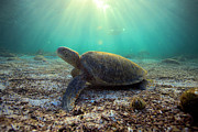 Green Sea Turtle Photos - Green sea turtle underwater dawn by Paul Kennedy