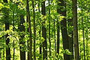 Green Spring Forest Print by Elena Elisseeva