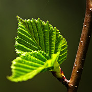 Elm Photos - Green spring leaves by Elena Elisseeva