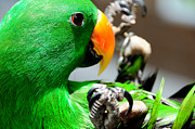 Green Parrot Prints - Green Star Peppi. Game Starting Print by Jenny Rainbow
