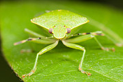 Stink Bug Posters - Green Stink Bug Poster by Clarence Holmes