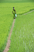 Rice Paddy Prints - Green Print by Tim Gainey