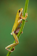 Jerry Fornarotto - Green Tree Frog Climbing