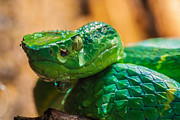 Green Tree Pit Viper Print by Craig Lapsley