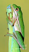 Sticky Framed Prints - Green Treefrog Framed Print by Millard H. Sharp