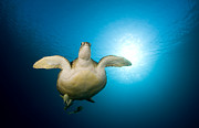Dray Van Beeck - Green Turtle swimming in...