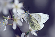 Mark Johnson - Green-veined White