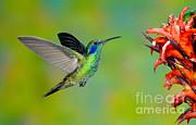 Anthony Mercieca - Green Violet-ear Hummingbird