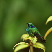 Central America Metal Prints - Green Violetear Hummingbird Metal Print by Heiko Koehrer-Wagner