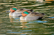 James Lewis Metal Prints - Green-wing Teal  Metal Print by James Lewis