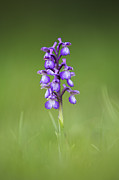 Green Pasture Posters - Green winged Orchid Poster by Tim Gainey