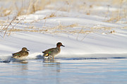 {image Orientation} Framed Prints - Green Winged Teal on Ice Framed Print by Tim Grams