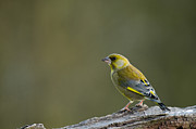 Colourful Bark Prints - Greenfinch Print by Anne Gilbert