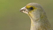 Daniel Csoka - Greenfinch