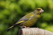Mick Gosling - Greenfinch