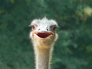 Ostrich Photos - Greeter by Orcinus Fotograffy