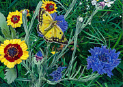 Garden Scene Paintings - Greeting Card Butterfly and Wildflowers Floral  by Walt Curlee