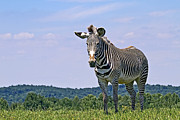 Beauty Art - Grevys Zebra by Marcia Colelli