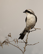 Fauna Originals - Grey-backed Shrike by Phyllis Peterson